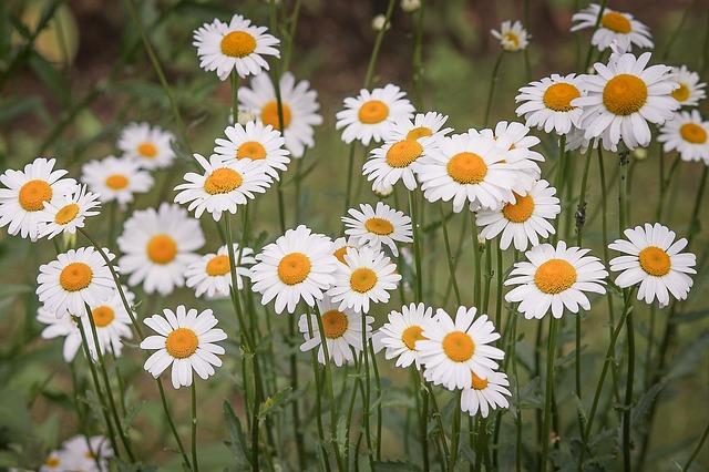 daisies-3439573_640